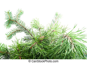 fir tree branch with cones on white