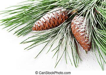fir tree branch with pinecones closeup on white background