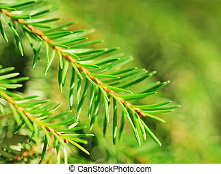 Fir tree branches