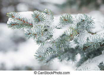 Fir tree branches in winter