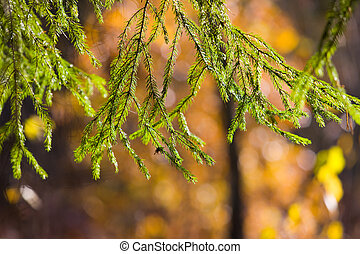 Fir-tree branches
