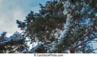 Fir tree branches with snow in foreground - slide and focus play