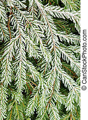 Fir tree covered with frost.