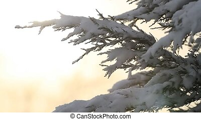 Fir tree covered with snow in the sunlight