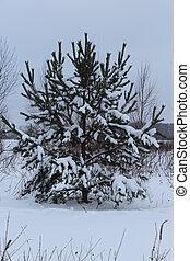 fir tree in snow field
