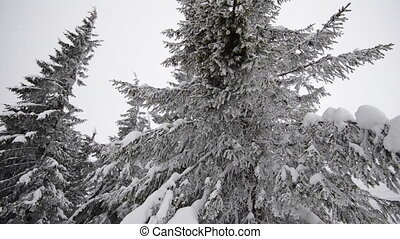 Fir tree in the snow. - Winter Carpatians nature , realtime...
