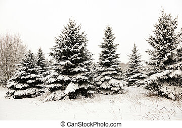 fir-tree in the winter