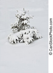 Fir-tree in winter