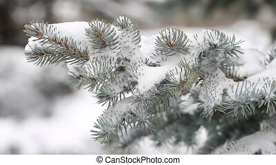 Fir tree in winter and falling snow