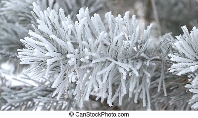 Fir tree in winter - Fir tree covered by ice in winter