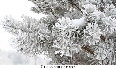 Fir-tree in winter - Fir-tree is covered by ice in winter