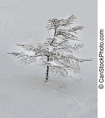 Fir-tree in winter
