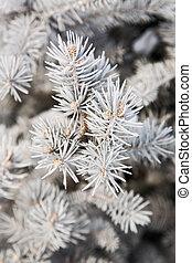 fir-tree, inverno, ramo