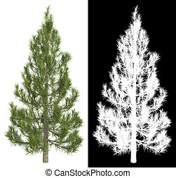 Fir-tree Isolated on White Background.