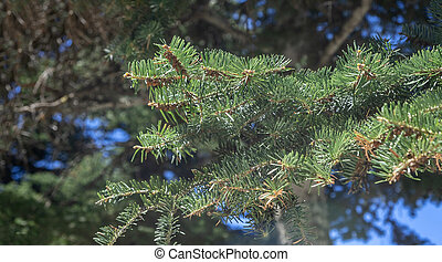 Fir tree needles close up, blur nature background