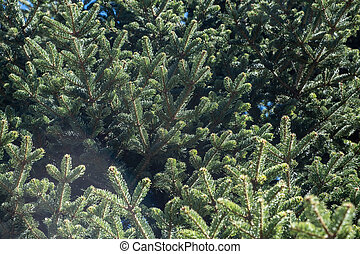 Fir tree needles close up, nature background