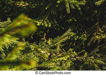 Fir tree on a sunny summer day