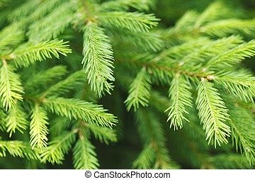 Fir tree branch macro close-up