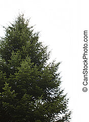 Fir tree - Natural fir tree without decorations isolated on...
