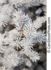 fir-tree, ramo, inverno