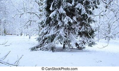 fir tree snow panoramic