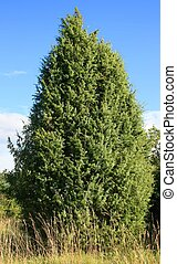 this image shows a fir tree in summer