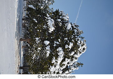 fir-tree under snow cap in winter