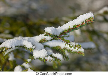 Fir tree under snow