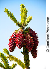 Fir tree with pine-cones
