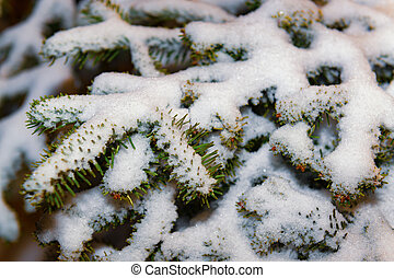 Fir tree with snow covered branches.