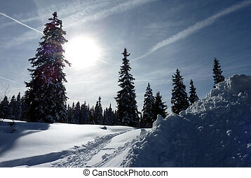 Fir trees by winter