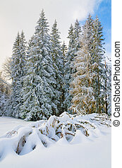 Fir trees covered by snow high in the Carpathian mountains.