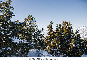 Fir trees covered with snow in the forest in winter on a Sunny day