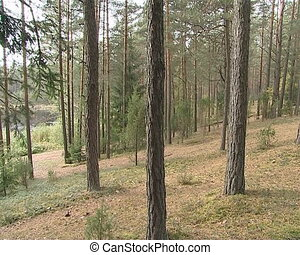 Fir trees growing on hill. Natural coniferous forest fragment.