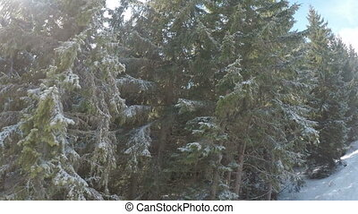 fir trees in ski resort Bukovel, Carpathian Mountains,...
