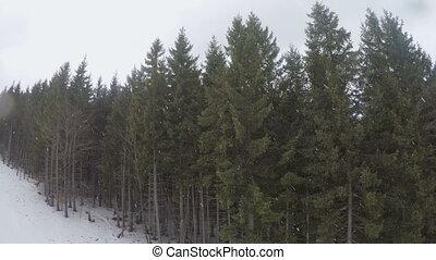 fir trees in ski resort - Snow falls in fir trees in ski...