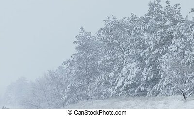 fir trees in snow wild winter forest snowing Christmas