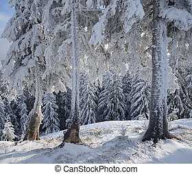 Fir trees in the frost