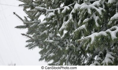 Fir trees in the snow in the forest.