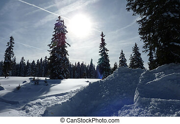 Fir trees in winter