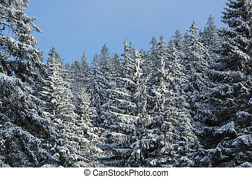 Fir trees in winter, Jura mountain, Switzerland