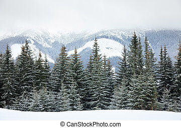Fir trees on mountain slope