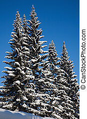Fir trees. Clear frosty day after snowstorm. February 2008,...
