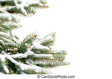 fir twig covered with snow isolated on white with copy space...