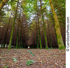 Fir wood in the spanish countryside - View of fir wood n the...