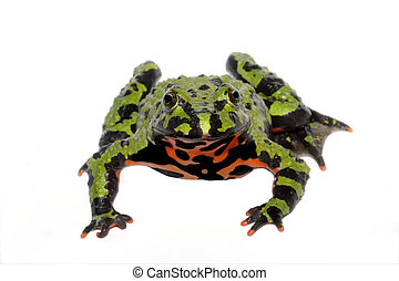 Fire Belly Toad (Bombina orientalis) frog isolated on a...