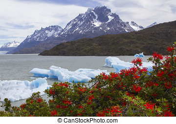 Fire bushes in bloom at Grey Lake, Torres del Paine, Patagonia, Chile