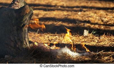 Fire in a Pine Forest
