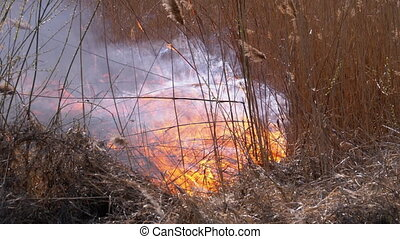 Fire in the Forest. Burning Dry Grass, Trees and Reeds. ...