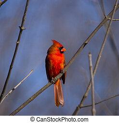 Fire in the woods - Northern Cardinal, cardinalis cardinalis
